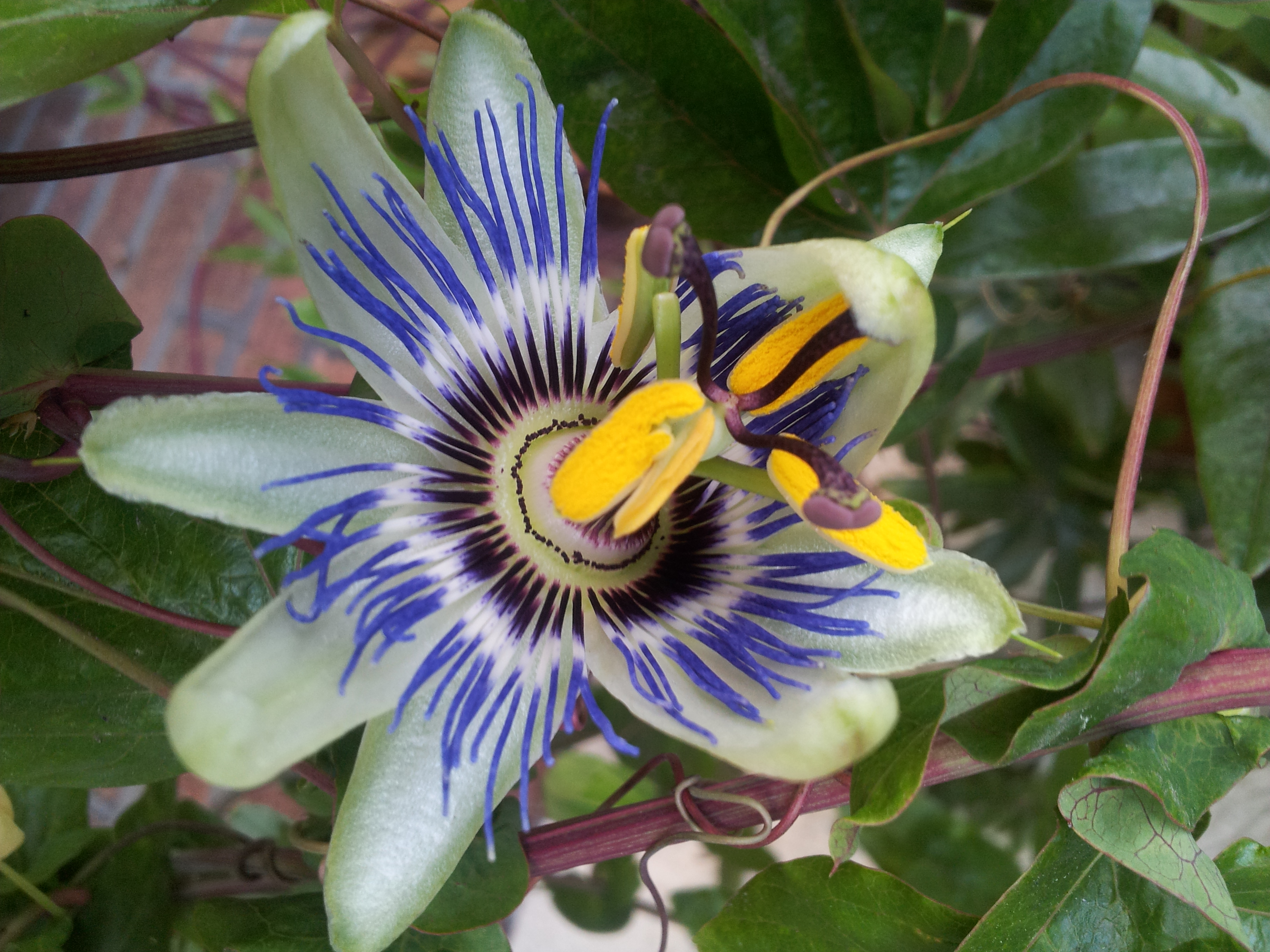 Two Proms and The Passion Flower